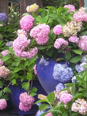 Sun May 09 Blue Hydrangea